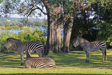 victoria park: A trio of zebra relaxing in the grounds of the Royal Livingstone hotel on the banks of the Zambezi river