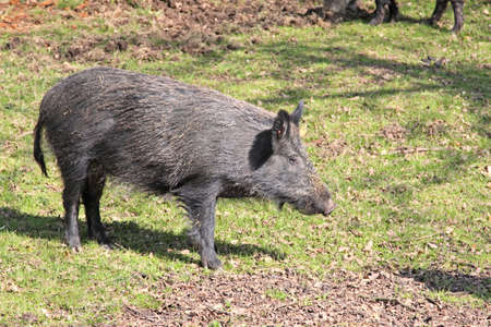 rooting: Wild boar out in the open Stock Photo