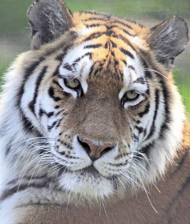 Close up of an Amur or Siberian tiger Stock Photo - 7673021