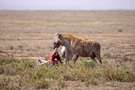 snacking: A spotted hyena snacking on the carcass of a Thomsons gazelle on the Serengeti plain in Tanzania