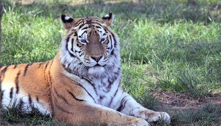 Amur or Siberian tiger laying down on grass Stock Photo - 7786345