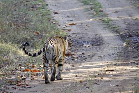 tigresa: Tigresa de Bengala de Young caminar lejos a lo largo de un camino de tierra en el Parque Nacional de Kanha, India