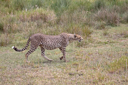 Female cheetah approaching a herd of (out of shot) Thomsons gazelle in the Serengeti, Tanzania. This particular cheetah appears to be quite heavily pregnant photo