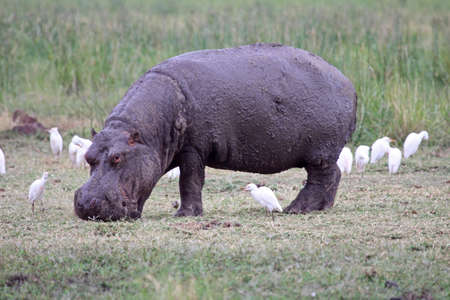 A mud covered hippopotamus grazing in Lake Manyara national park, Tanzania, with egrets in attendance photo