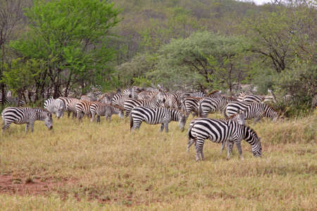 A herd of zebra pausing for a meal during the annual migration in the serengeti national park Stock Photo - 7786380