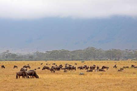 Small herd of wildebeest grazing in the Ngorongoro Crater, Tanzania Stock Photo - 7786371