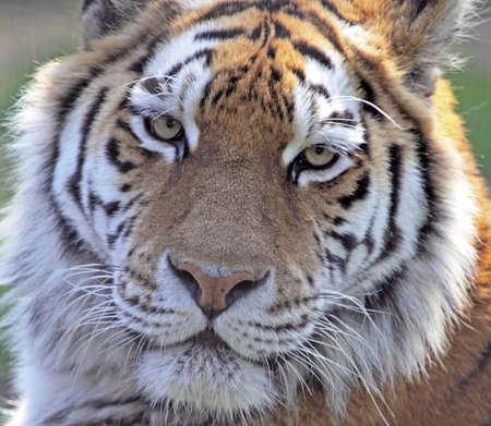 Close crop of an Amur tigers face Stock Photo - 7786407