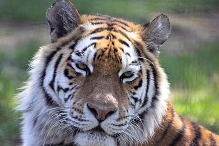 Close-up of a Siberian (Amur) tiger Stock Photo - 7786419