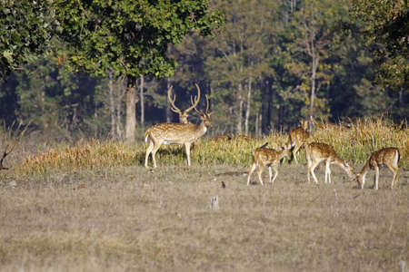 madhya: Small group of Spotted Deer in Pench national park, India