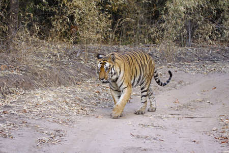 Large male Bengal tiger out for a stroll in Bandhavgarh national park, India photo