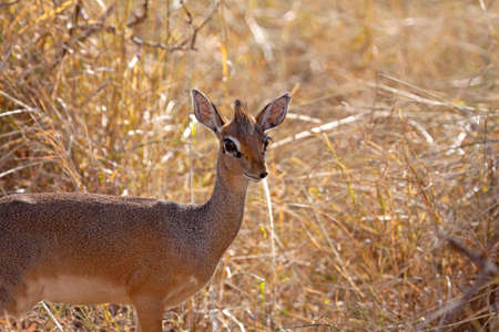Female dik-dik caught unawares in long grass the Serengeti, Tanzania. The dik-dik is the smallest of the antelope species and often difficult to see in long grass