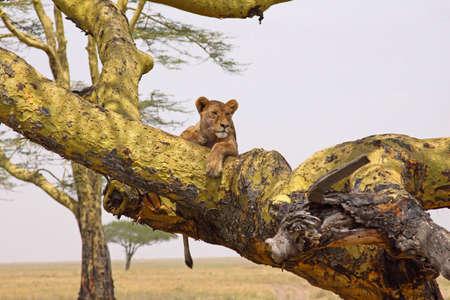 Lioness using an acacia tree as a vantage point in the Serengeti national park, Tanzania photo