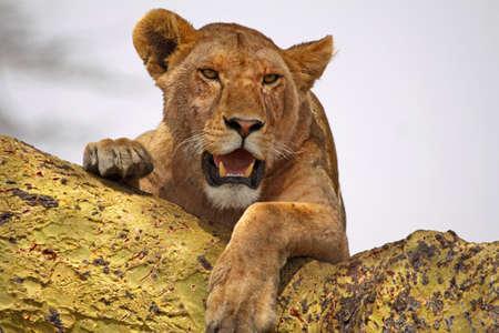 acacia tree: Lioness using an acacia tree as a vantage point in the Serengeti national park, Tanzania Stock Photo