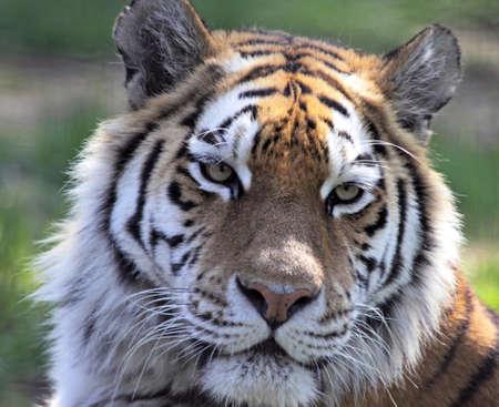 Full face shot of a Siberian tiger Stock Photo - 7786871
