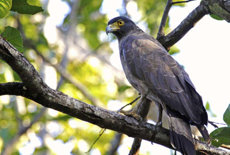 madhya: Changeable Hawk Eagle waits patiently for the tourists to pass by