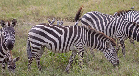 oxpecker: Small group of oxpeckers hitching a ride on the back of a zebra in the Serengeti national park,Tanzania Stock Photo