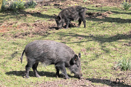 rooting: Two wild boar sniffing for roots Stock Photo