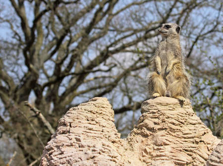 the sentry: Meerkat Centinela de la colonia  Foto de archivo