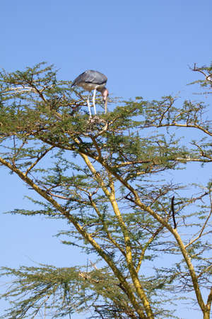 A lone Marabou stork selecting a nest site in an acacia tree photo