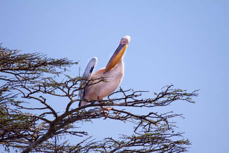 A single Great White Pelican looking for a suitable nest site in an acacia tree photo