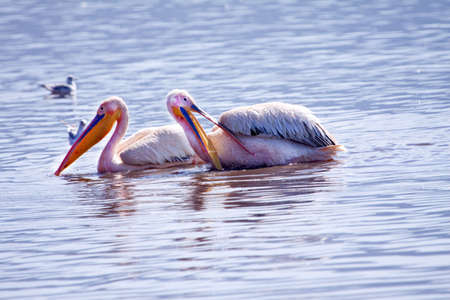 Two Great White Pelicans  bathing and preening their feathers photo