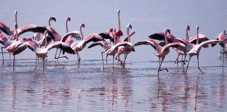 A flock of Lesser flamingos taking off from Lake Nakuru in Kenyas Great rift valley photo