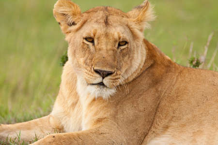 Close up of an adult lioness, a member of the  photo