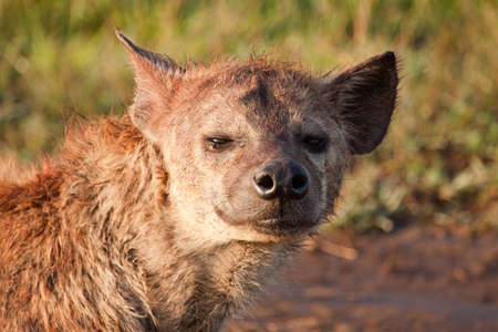 Close up of a scruffy spotted hyenas face photo