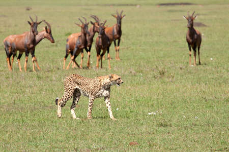 An adult cheetah ushered away by a small herd of topi in Kenyas Masai Mara national park photo