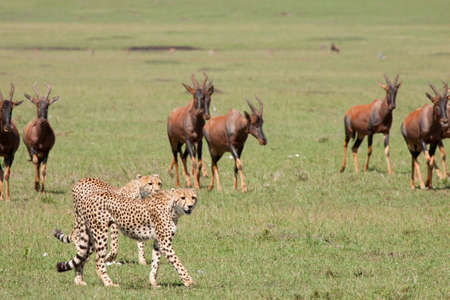 Two cheetahs being shepherded out of the territory by a herd of topi photo