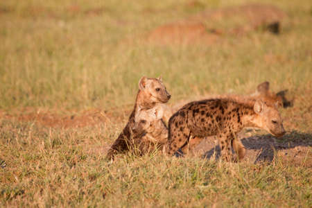 A group of Spotted- hyena pups emerging from their burrow just before sundown photo