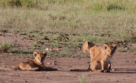 Three young lion cubs posing for the camera photo