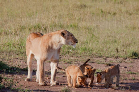Female lioness watching over her litter of three cubs photo