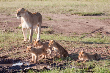 An adult lioness with her litter of four cubs photo