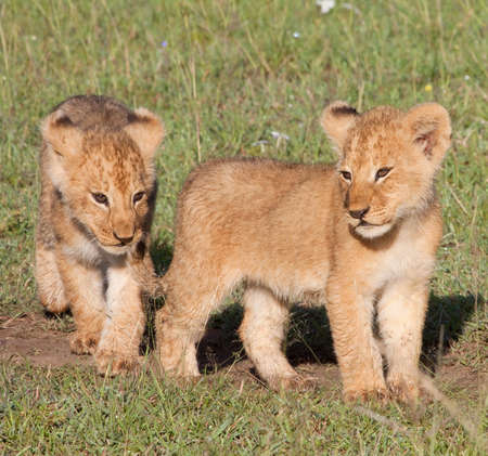 Two young lion cubs. Part of the  photo