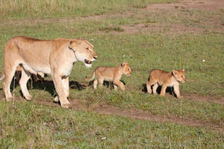 A mother lioness escorting her young cubs through Kenyas Masai Mara game reserve photo