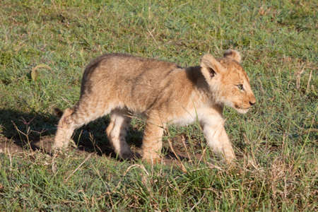 Solitary young lion cub in Kenya's Masai Mara game reserve Stock Photo - 9267235