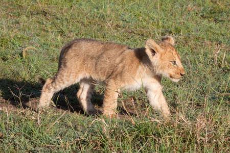 lion cub: Solitary young lion cub in Kenyas Masai Mara game reserve Stock Photo