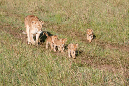 escorting: A mother lioness escorting her young cubs through Kenyas Masai Mara game reserve