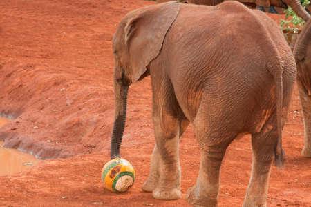 Young elephant playing football at the David Sheldrick Orphanage in Nairobi, Kenya photo