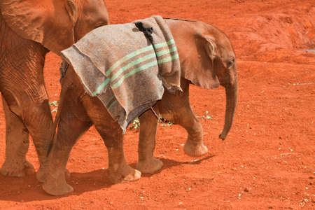 A very young elephant at The David Sheldrick Orphanage with a blanket for protection from the sun. photo