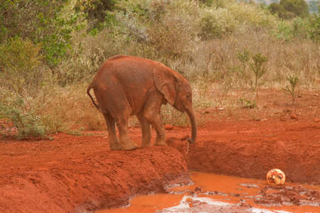 Baby elephant covered in the local red dust, drinking from a mud hole photo