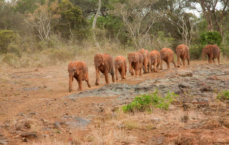 Baby elephants at the David Sheldrick Elephant Orphanage arriving for their mid-morning milk photo