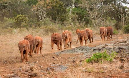 orphanage: Baby elephants at the David Sheldrick Elephant Orphanage arriving for their mid-morning milk Stock Photo