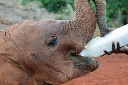 Baby elephant receiving its milk at the David Sheldrick Elephant Orphanage in Nairobi, Kenya photo