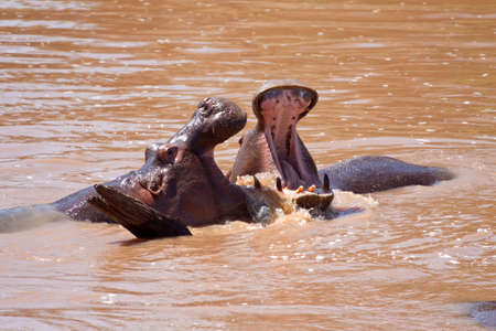 wallowing: Two hippos sparring with each other in the Mara river