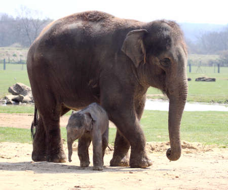 herbivorous animals: New born elephant making his public debut at Whipsnade zoo