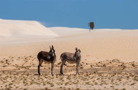 Two donkeys in Lençois Maranhenses National Park, Maranhão, Brazil