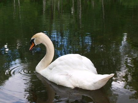 arched neck: White mute swan swimming in a pond close up