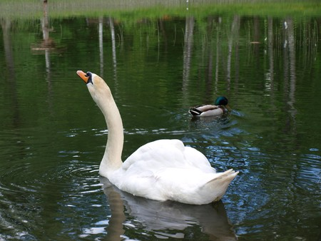 arched neck: White mute swan and a small duck Stock Photo